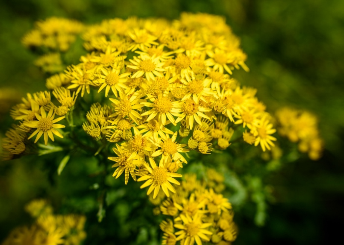 Invasive weed - ragwort